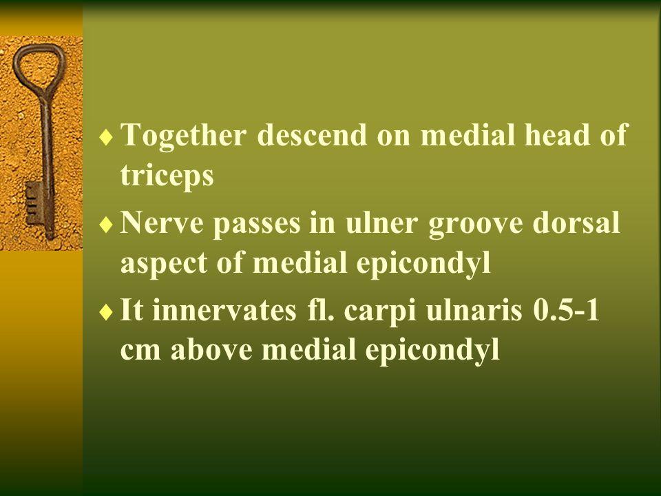 Together descend on medial head of triceps