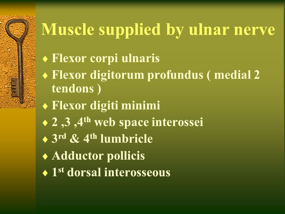 Muscle supplied by ulnar nerve