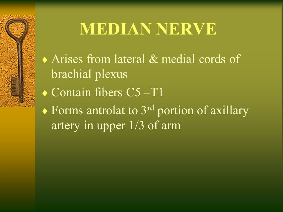 MEDIAN NERVE Arises from lateral & medial cords of brachial plexus