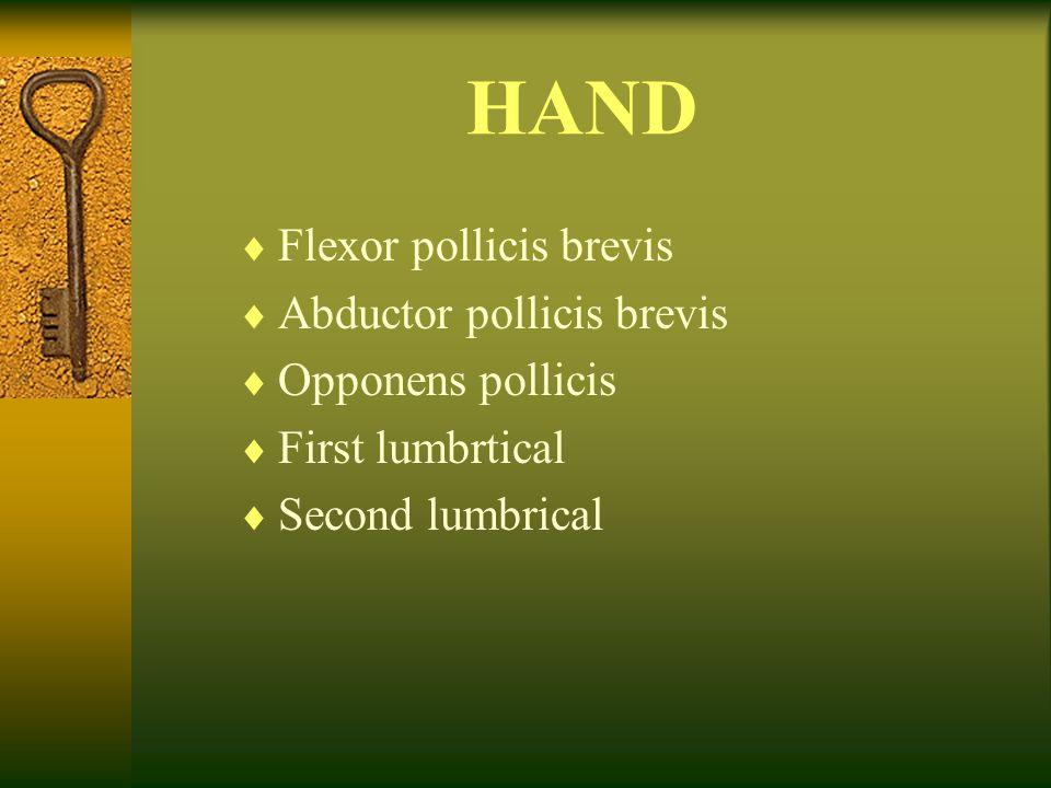 HAND Flexor pollicis brevis Abductor pollicis brevis Opponens pollicis