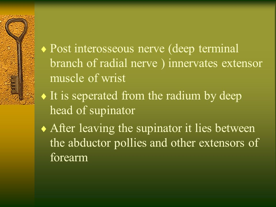 Post interosseous nerve (deep terminal branch of radial nerve ) innervates extensor muscle of wrist