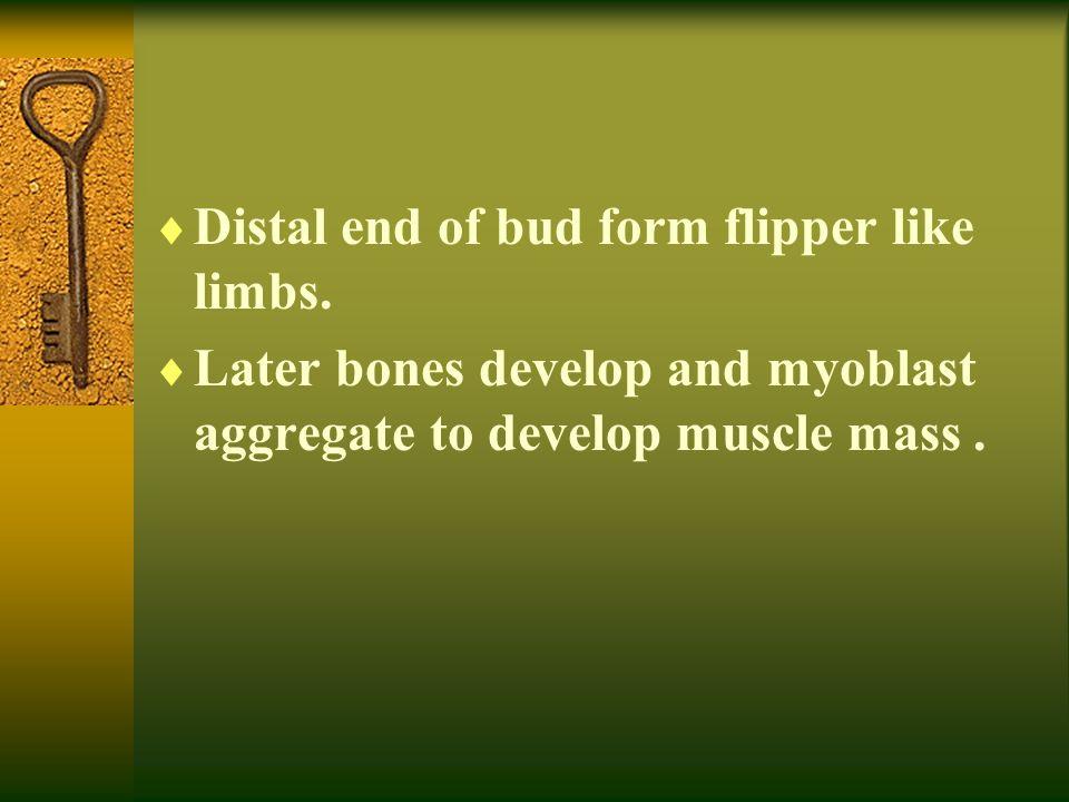 Distal end of bud form flipper like limbs.