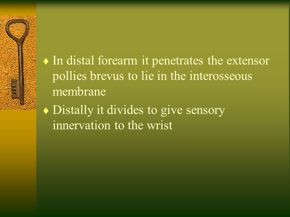 In distal forearm it penetrates the extensor pollies brevus to lie in the interosseous membrane