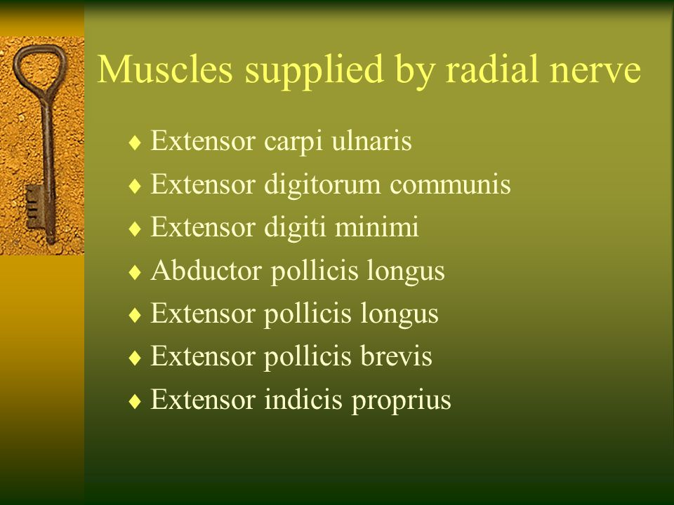 Muscles supplied by radial nerve