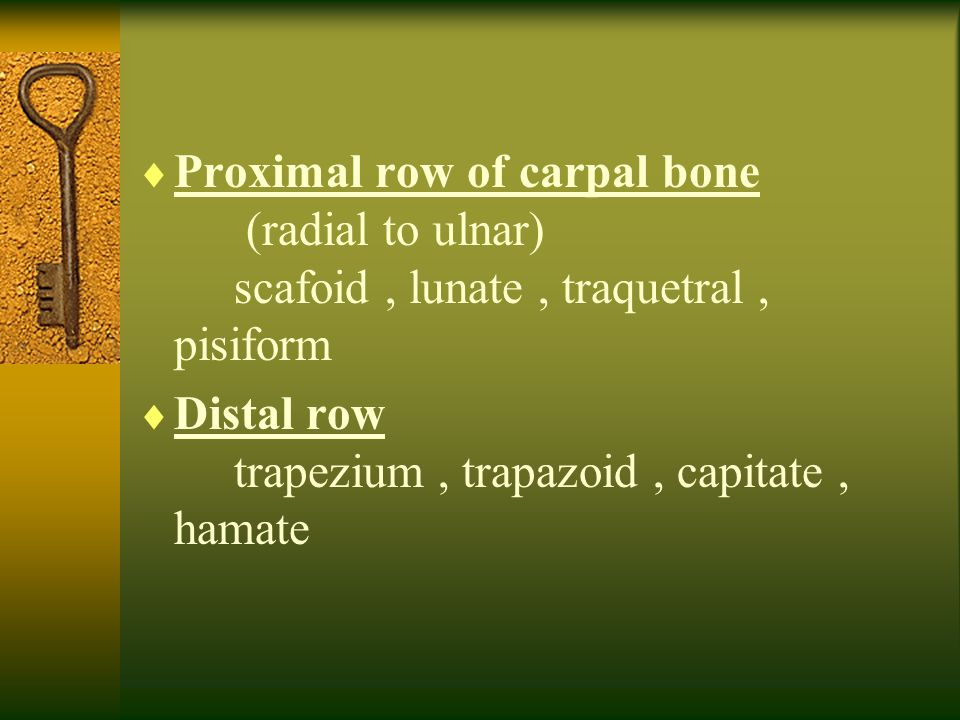 Proximal row of carpal bone. (radial to ulnar)