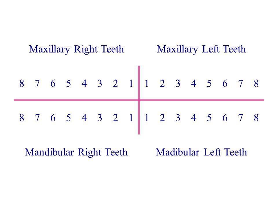 Mandibular Right Teeth