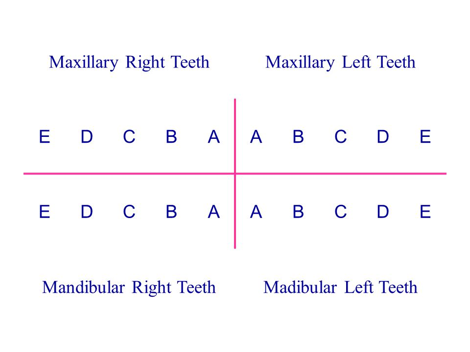 Mandibular Right Teeth