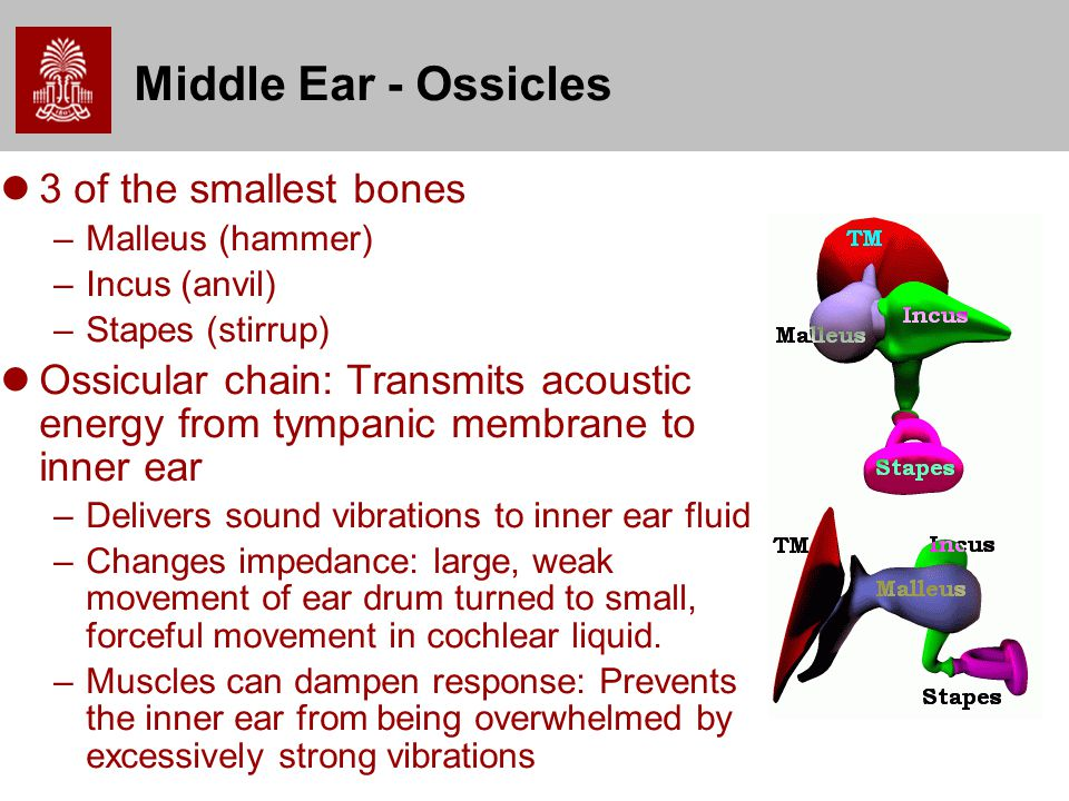 Middle Ear - Ossicles 3 of the smallest bones
