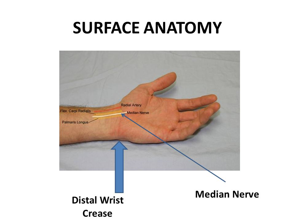SURFACE ANATOMY Median Nerve Distal Wrist Crease