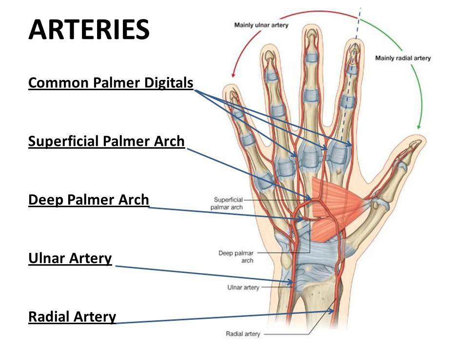 ARTERIES Common Palmer Digitals Superficial Palmer Arch