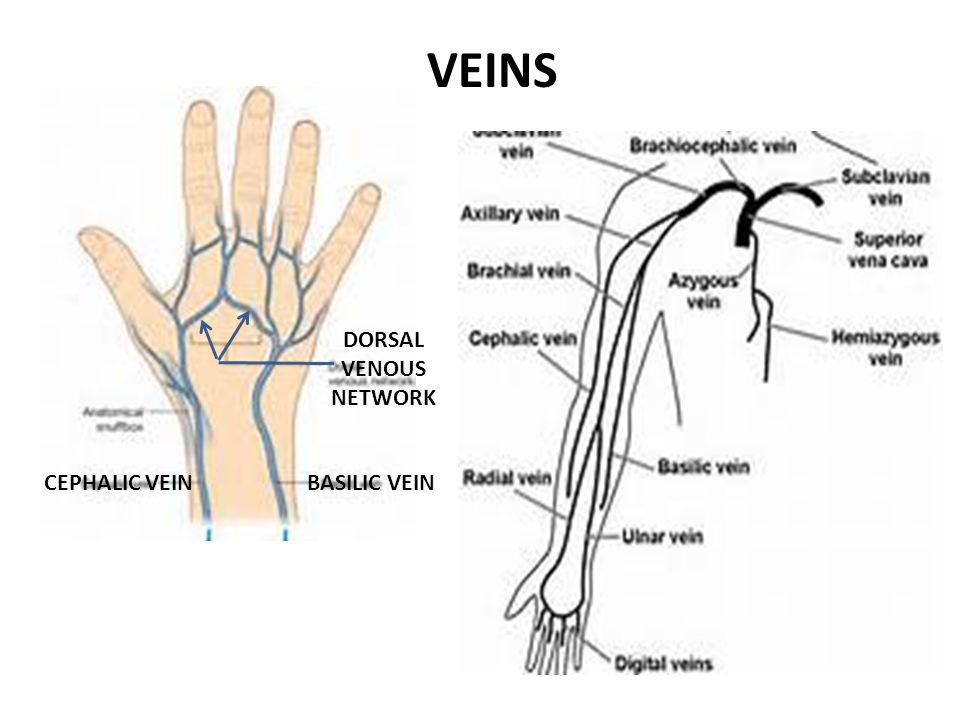 VEINS DORSAL VENOUS NETWORK CEPHALIC VEIN BASILIC VEIN