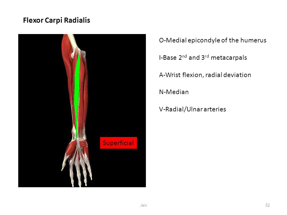 Flexor Carpi Radialis O-Medial epicondyle of the humerus
