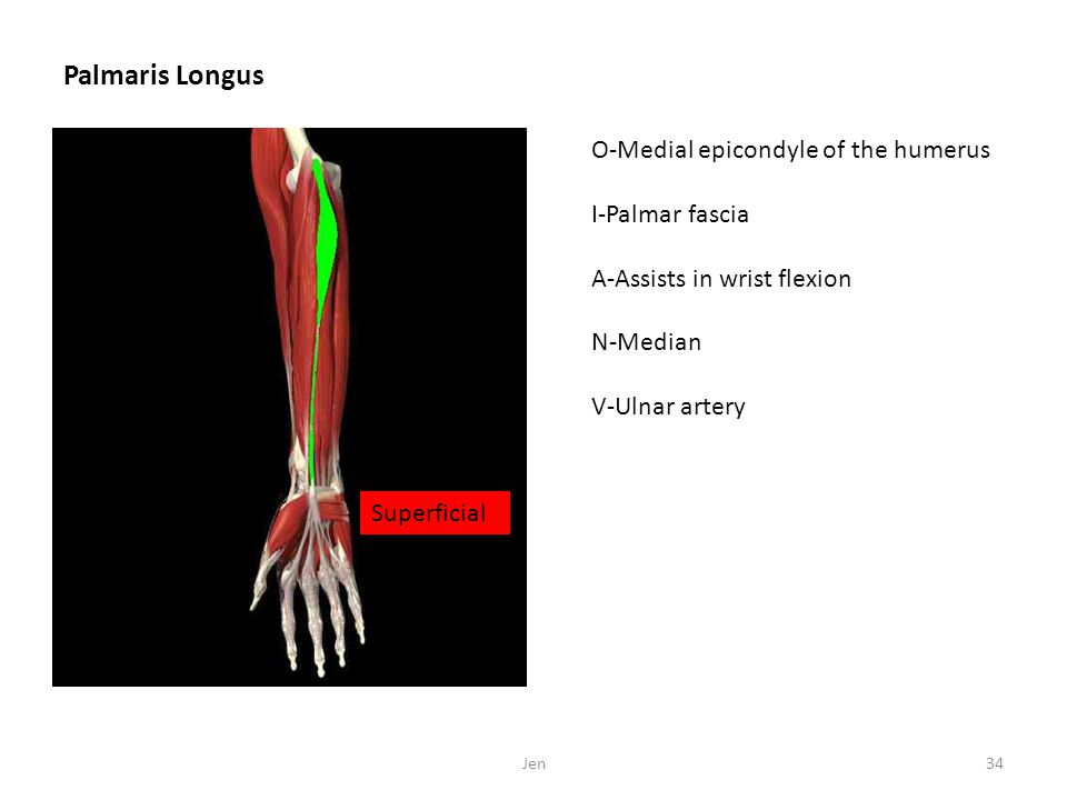 Palmaris Longus O-Medial epicondyle of the humerus I-Palmar fascia