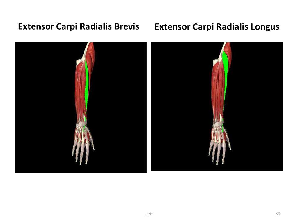 Extensor Carpi Radialis Brevis Extensor Carpi Radialis Longus