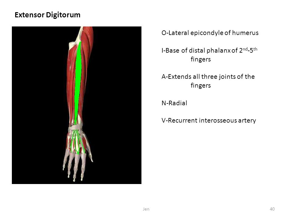 Extensor Digitorum O-Lateral epicondyle of humerus