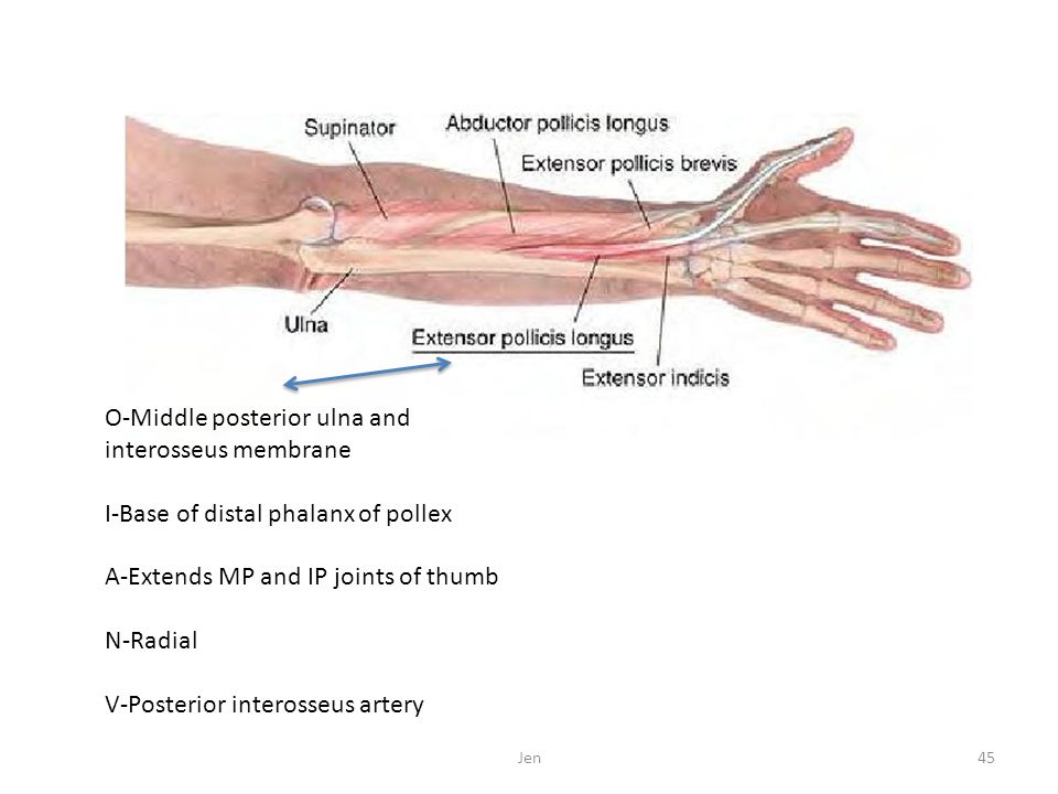 O-Middle posterior ulna and interosseus membrane