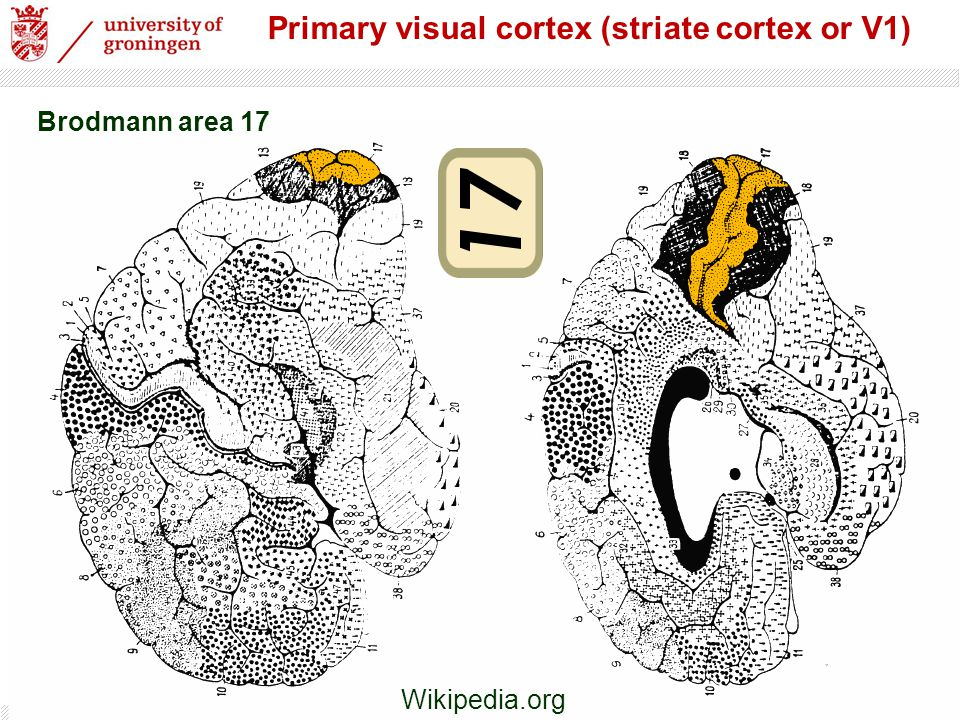 Primary visual cortex (striate cortex or V1)