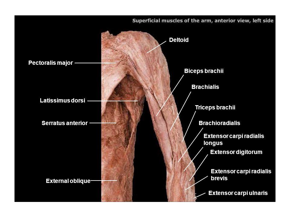 Deltoid Pectoralis major. Biceps brachii. Brachialis. Latissimus dorsi. Triceps brachii. Serratus anterior.