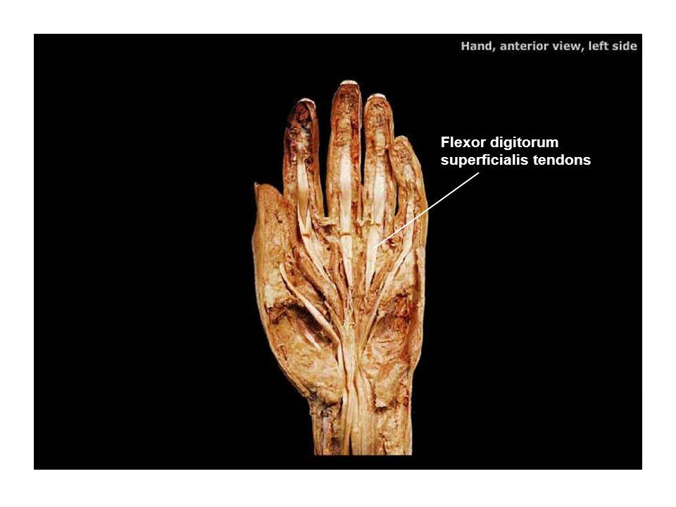Flexor digitorum superficialis tendons