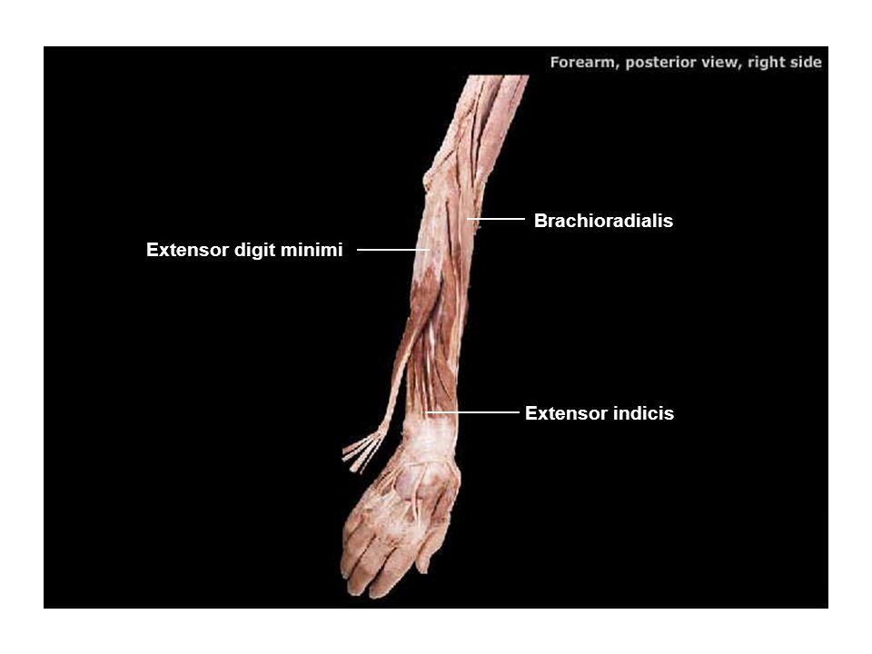 Brachioradialis Extensor digit minimi Extensor indicis