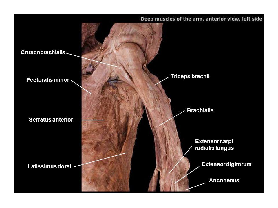 Coracobrachialis Triceps brachii. Pectoralis minor. Brachialis. Serratus anterior. Extensor carpi radialis longus.
