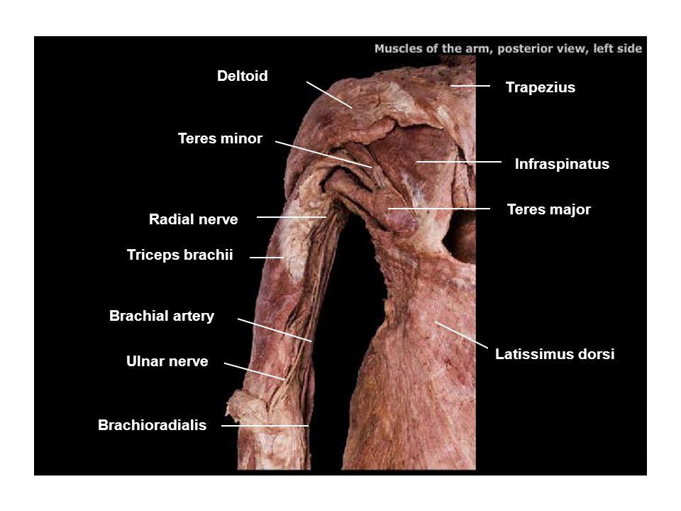 Deltoid Trapezius. Teres minor. Infraspinatus. Teres major. Radial nerve. Triceps brachii. Brachial artery.