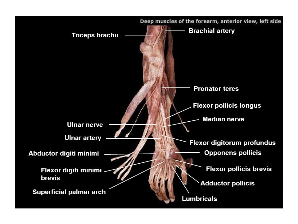 Brachial artery Triceps brachii. Pronator teres. Flexor pollicis longus. Median nerve. Ulnar nerve.