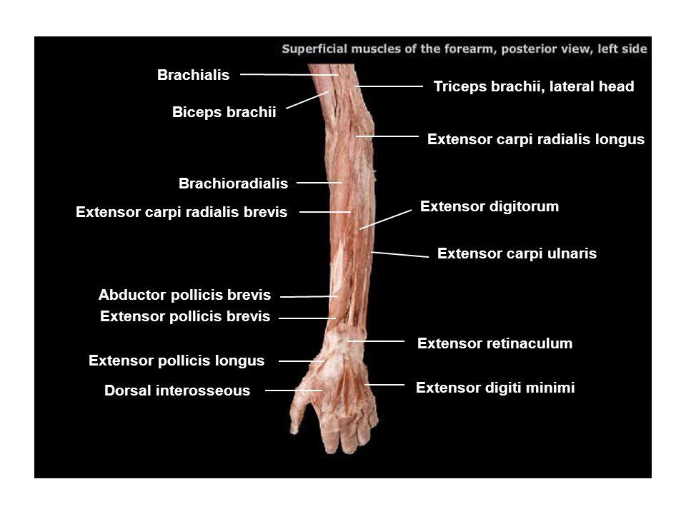 Brachialis Triceps brachii, lateral head. Biceps brachii. Extensor carpi radialis longus. Brachioradialis.