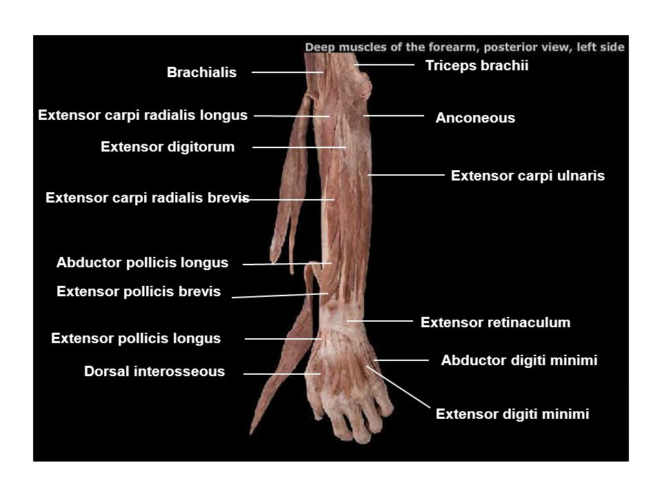 Triceps brachii Brachialis. Extensor carpi radialis longus. Anconeous. Extensor digitorum. Extensor carpi ulnaris.