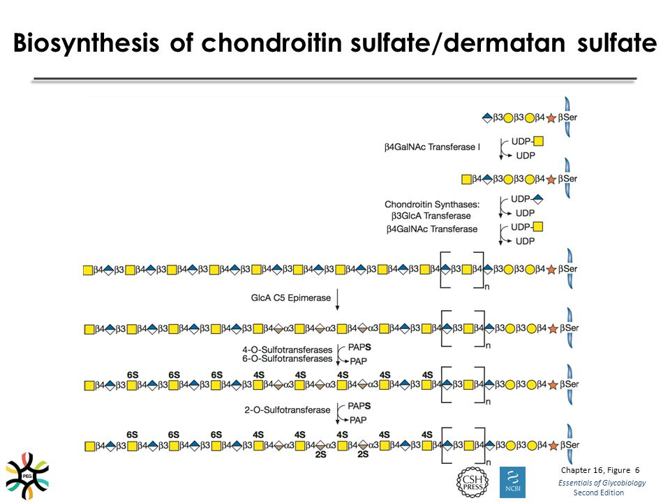 Biosynthesis of chondroitin sulfate/dermatan sulfate