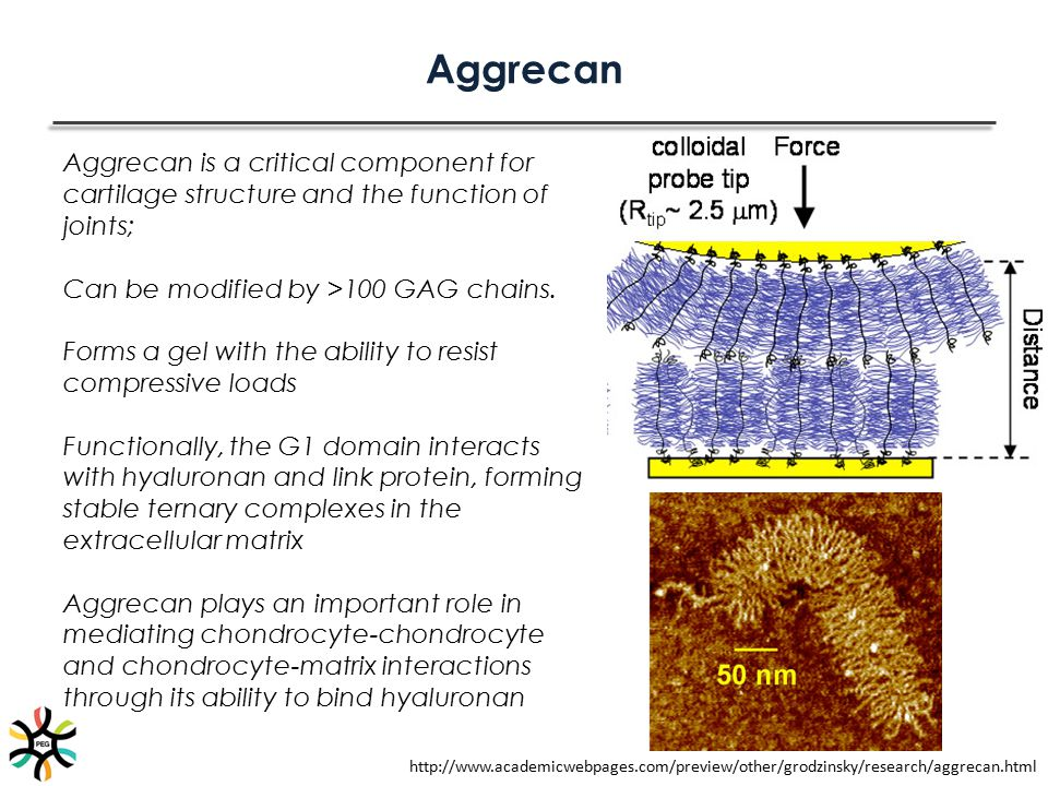 Aggrecan Aggrecan is a critical component for cartilage structure and the function of joints; Can be modified by >100 GAG chains.
