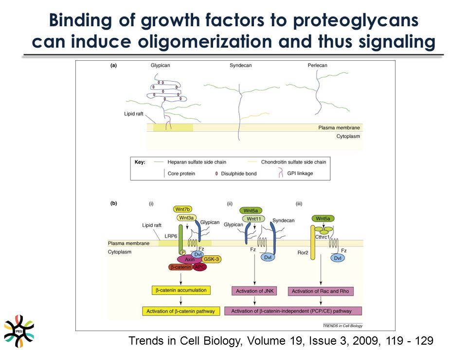 Binding of growth factors to proteoglycans can induce oligomerization and thus signaling