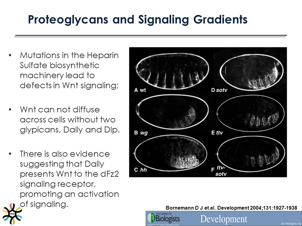 Proteoglycans and Signaling Gradients