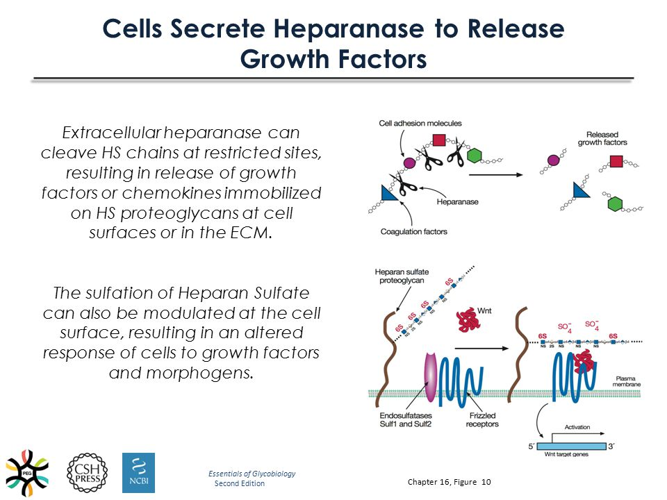 Cells Secrete Heparanase to Release Growth Factors