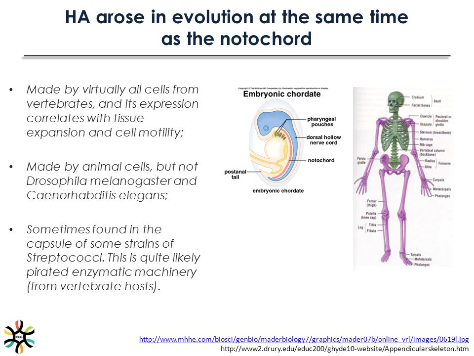 HA arose in evolution at the same time as the notochord