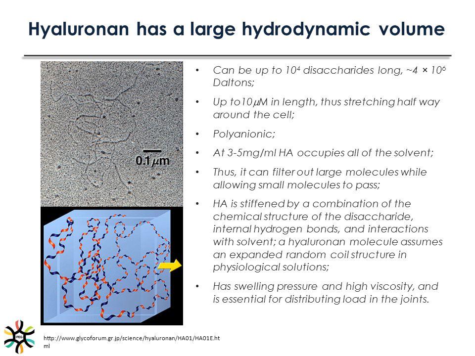 Hyaluronan has a large hydrodynamic volume