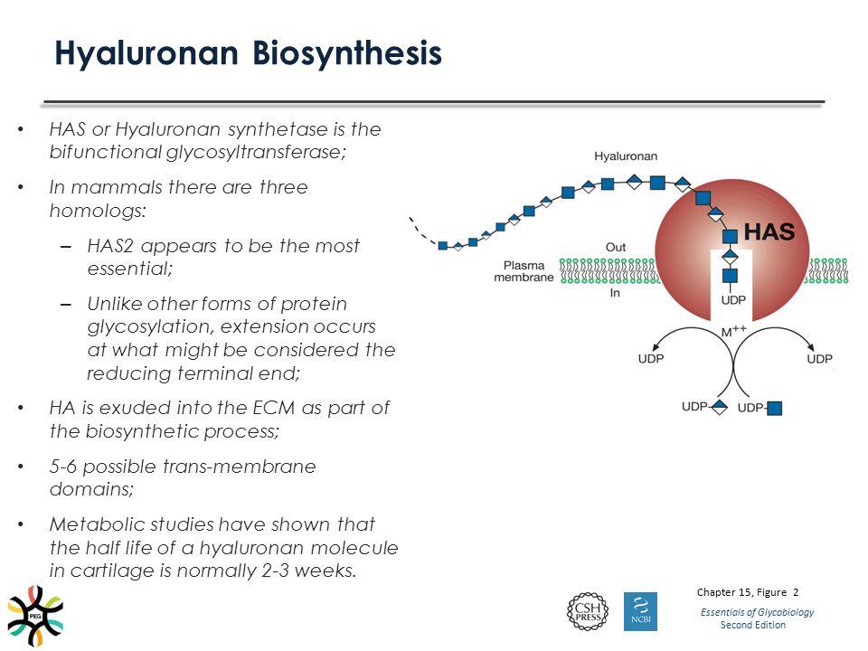 Hyaluronan Biosynthesis