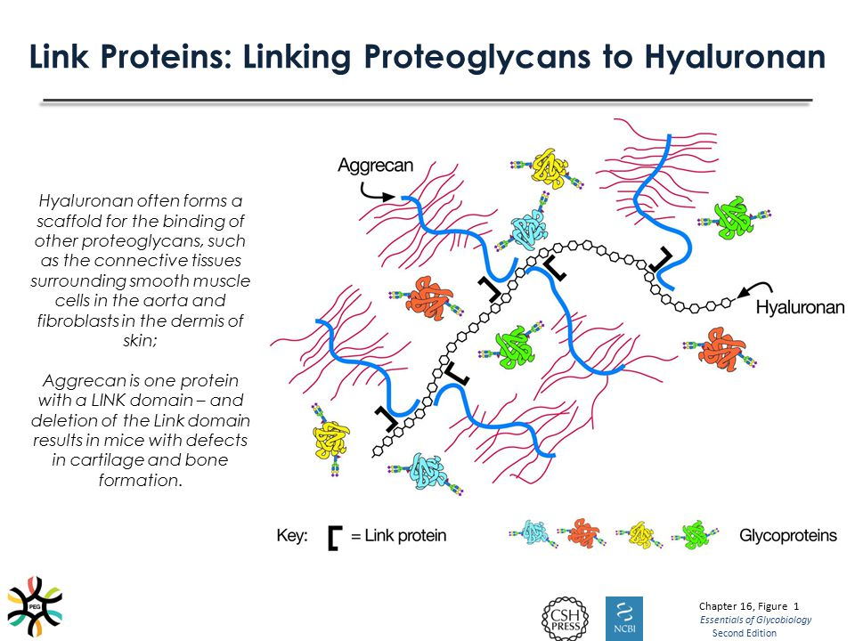 Link Proteins: Linking Proteoglycans to Hyaluronan