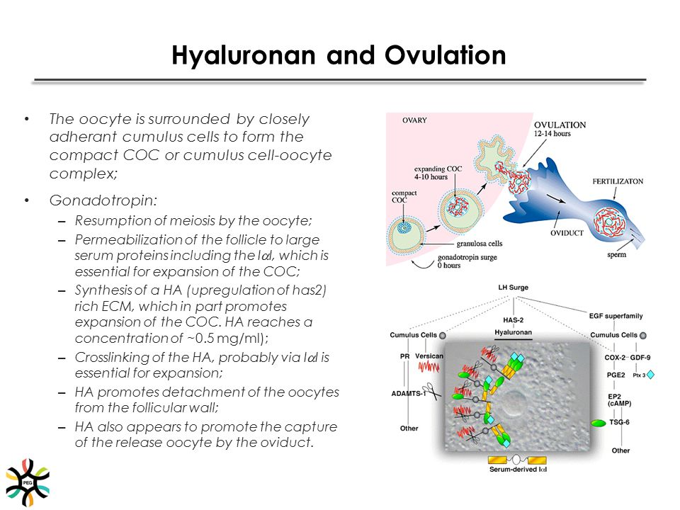 Hyaluronan and Ovulation