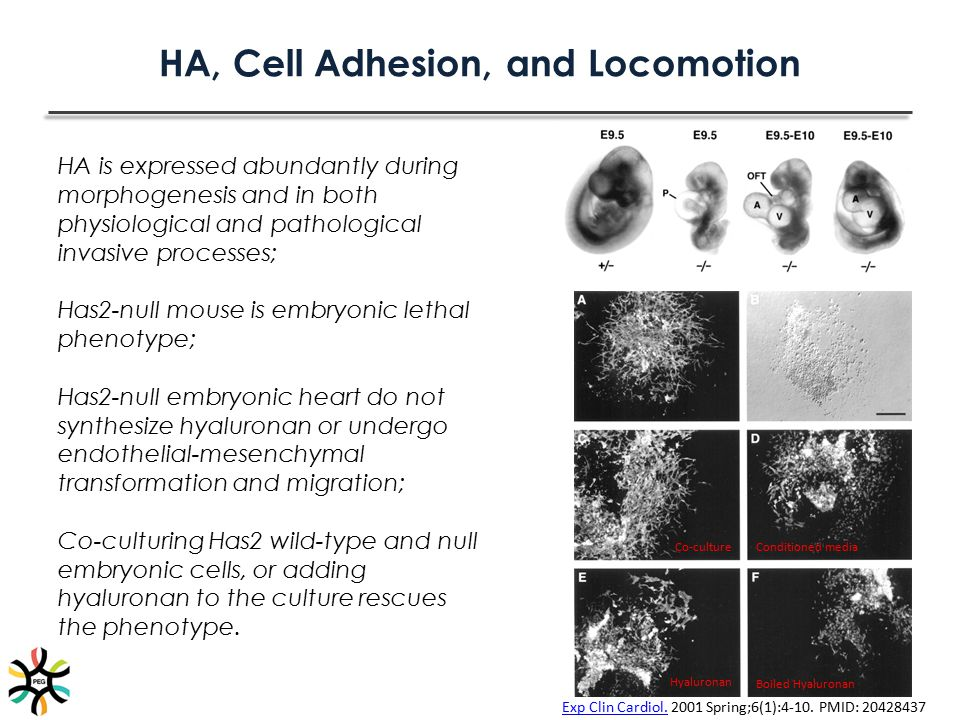 HA, Cell Adhesion, and Locomotion