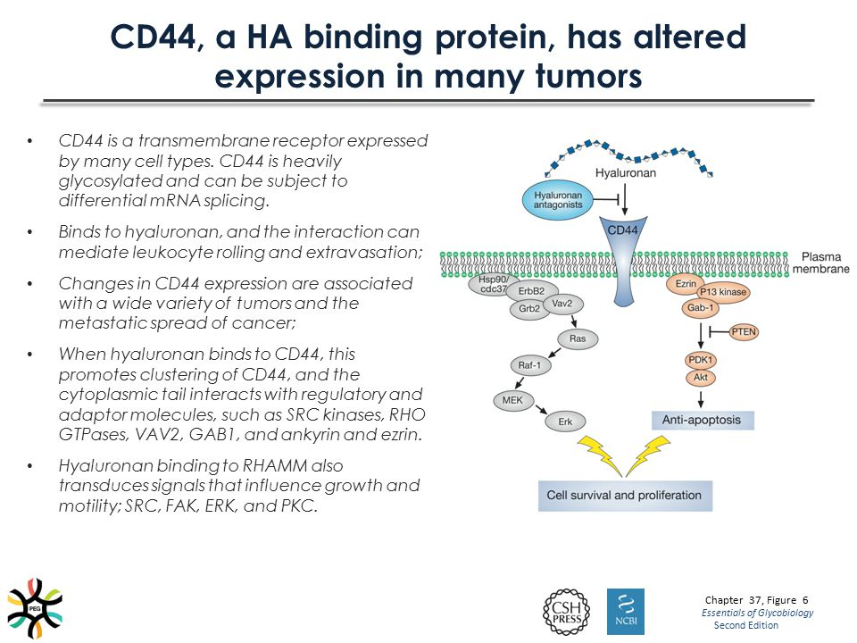 CD44, a HA binding protein, has altered expression in many tumors