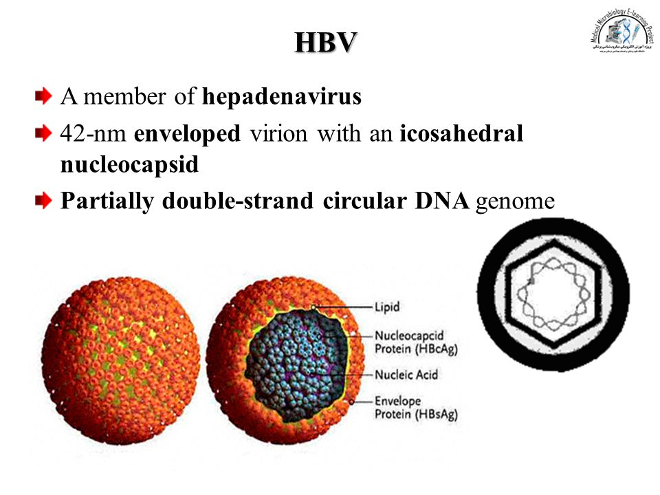 HBV A member of hepadenavirus