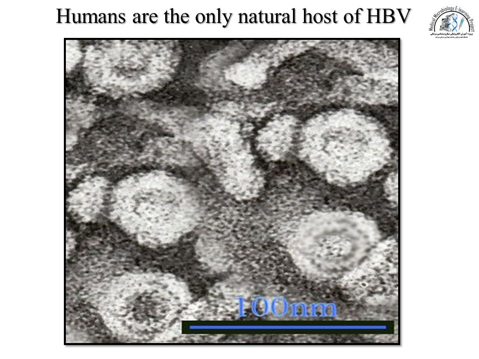 Humans are the only natural host of HBV