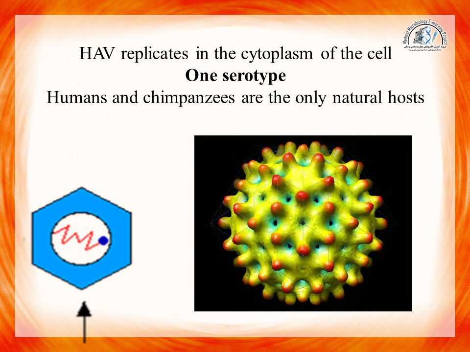 HAV replicates in the cytoplasm of the cell One serotype Humans and chimpanzees are the only natural hosts