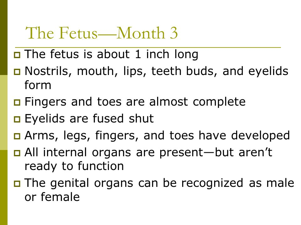 The Fetus—Month 3 The fetus is about 1 inch long