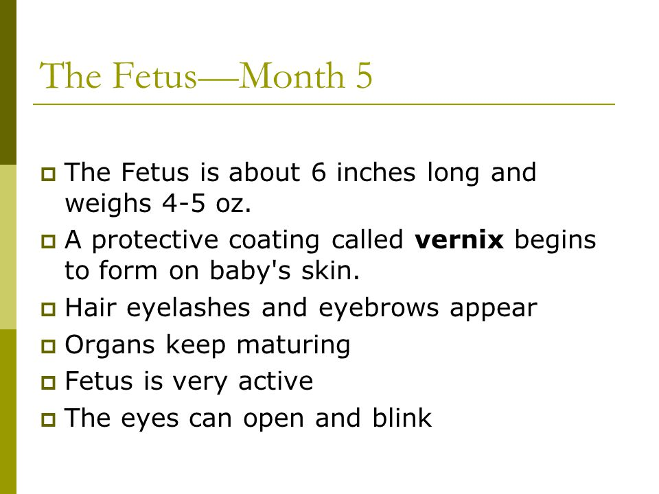 The Fetus—Month 5 The Fetus is about 6 inches long and weighs 4-5 oz.