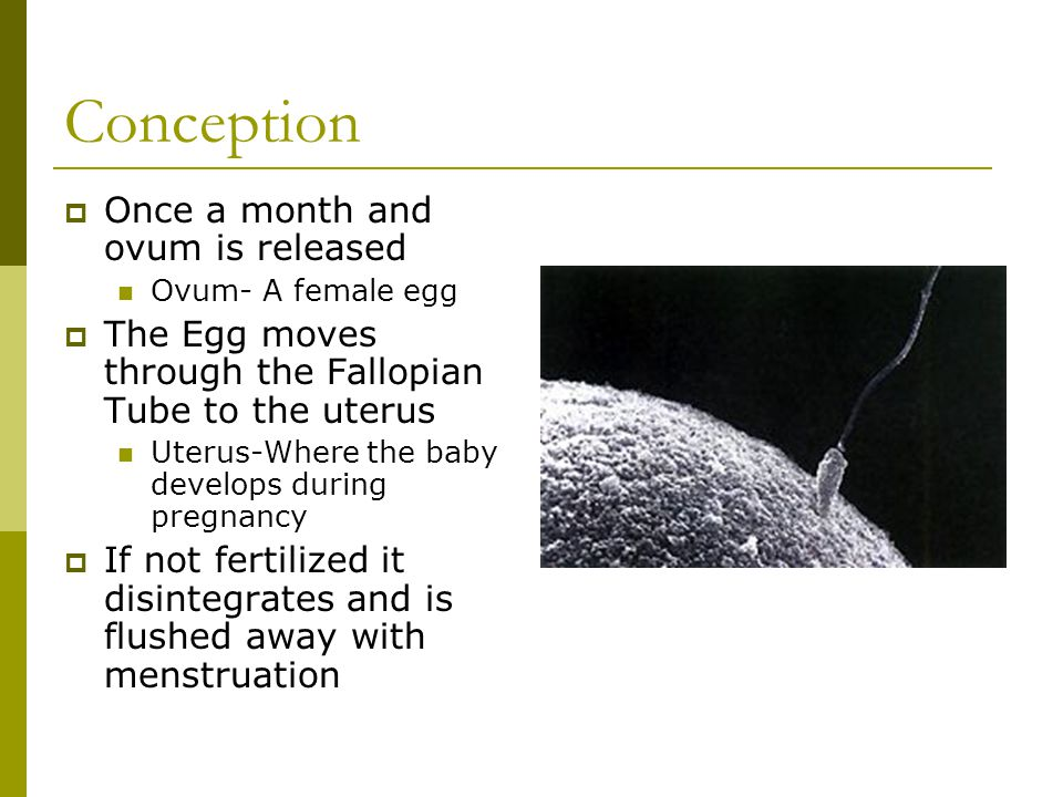Conception Once a month and ovum is released