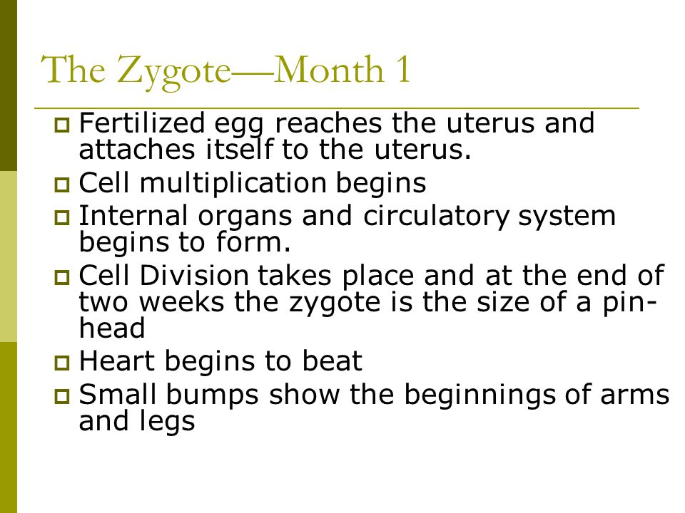 The Zygote—Month 1 Fertilized egg reaches the uterus and attaches itself to the uterus. Cell multiplication begins.