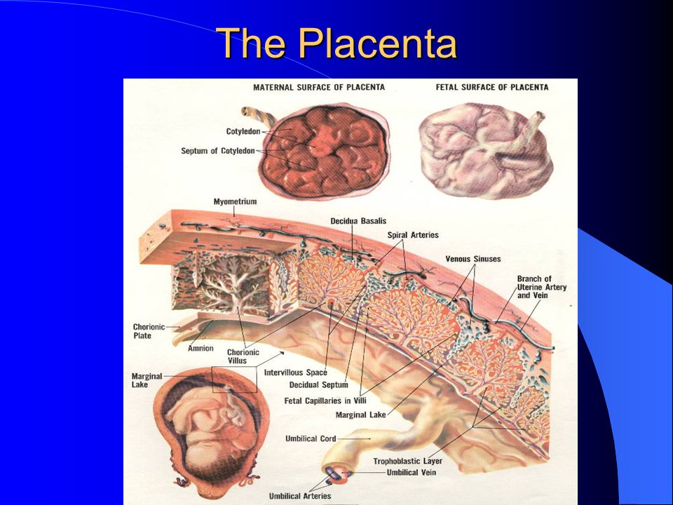 The Placenta