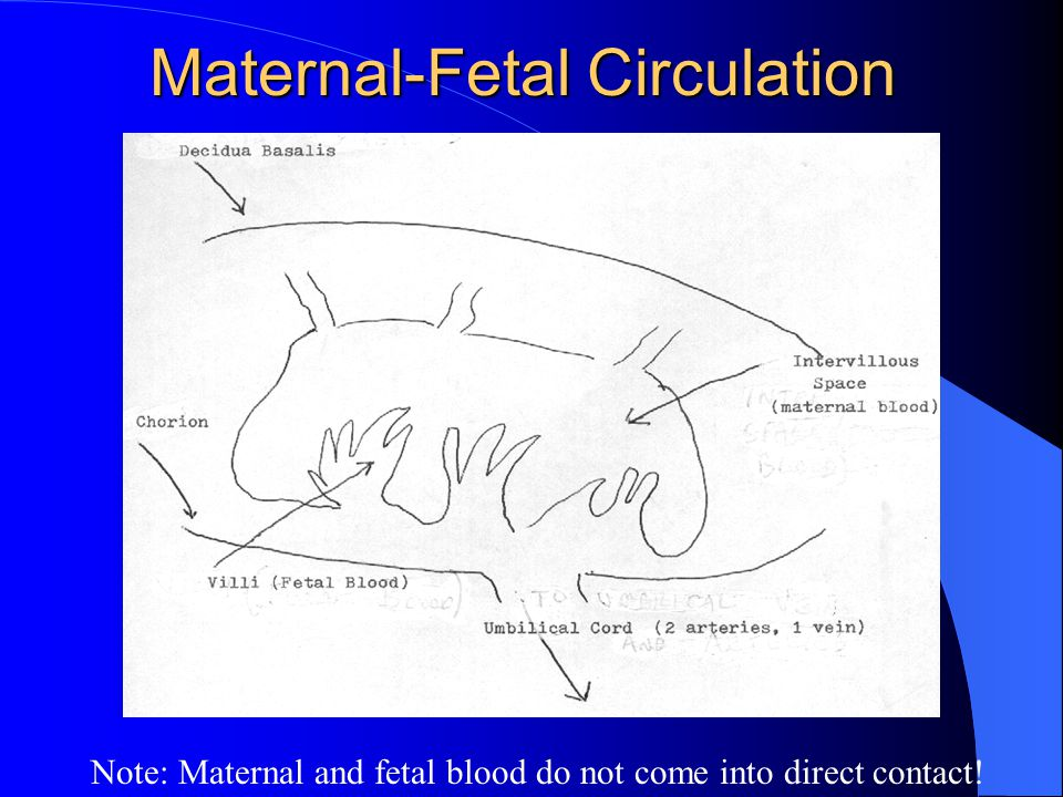 Maternal-Fetal Circulation